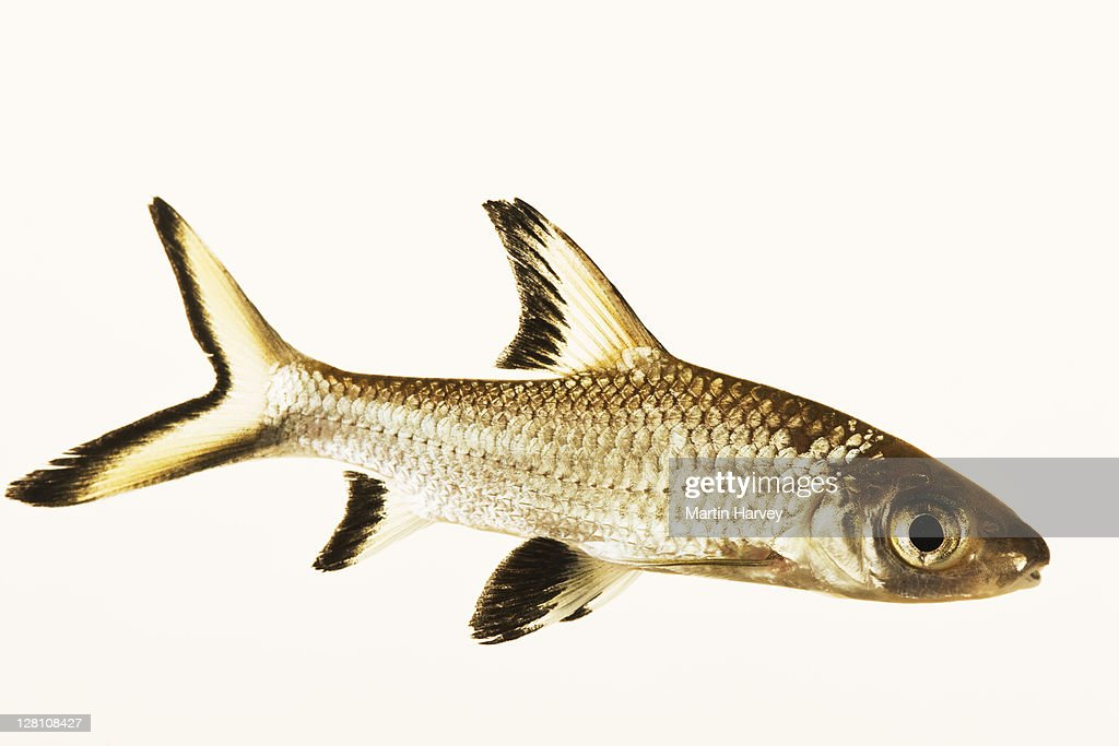 Bala Shark Also Known As Silver Shark Freshwater Schooling Fish Species Dist South East Asia Studio Shot Against White Background High Res Stock Photo Getty Images