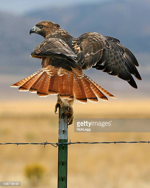 balancing hawk - red tailed hawk stock photos and pictures