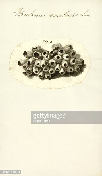 Balanus ovularis. Print. Balanus is a genus of barnacles in the family Balanidae of the subphylum Crustacea..