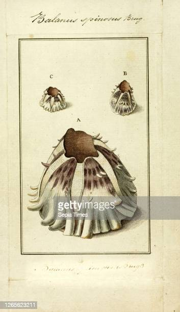 Balanus spinosus. Print. Balanus is a genus of barnacles in the family Balanidae of the subphylum Crustacea..