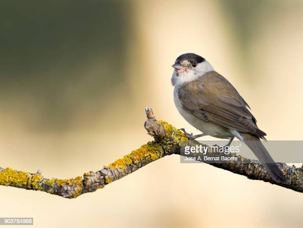 balckcap ( sylvia atricapilla) male perched on a tree, spain, winter.  europe. - warbler stock pictures, royalty-free photos & images