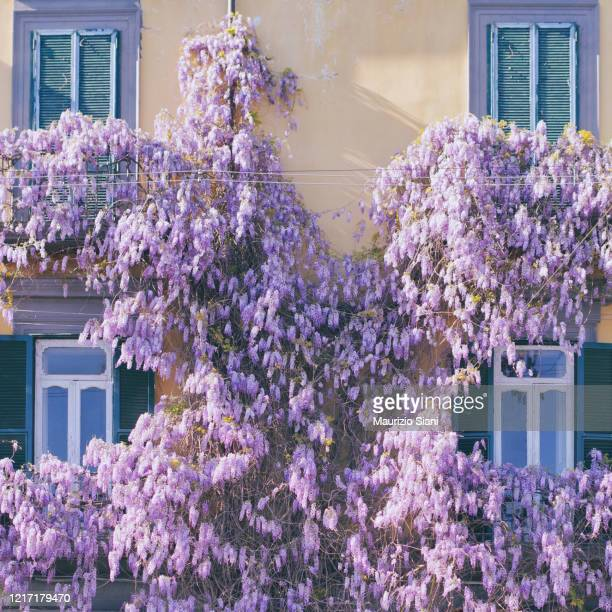 balconies with flowering wisteria in italy - bocciolo foto e immagini stock