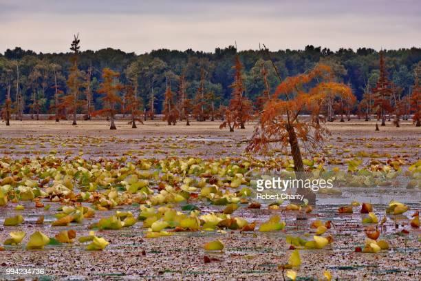 bald cypress and lotus plants - bald cypress tree imagens e fotografias de stock
