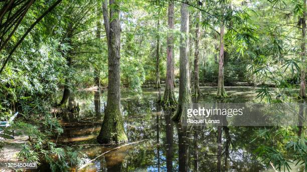 bald cypress and tupelo gum trees growing in a river samp - 落羽松 ストックフォトと画像