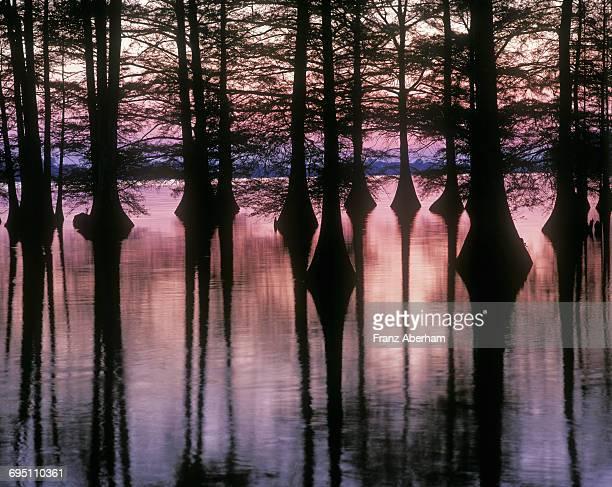 bald cypress at lake providence, louisiana - bald cypress tree imagens e fotografias de stock