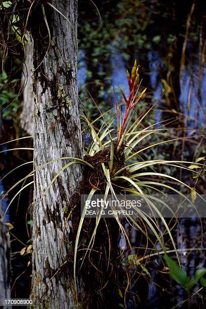 Bald Cypress Everglades National Park Florida United States of America