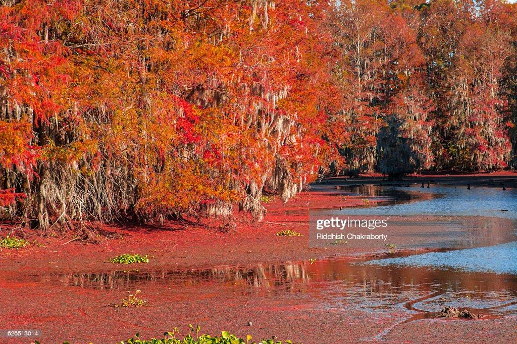 Bald Cypress Foliage : Stock Photo