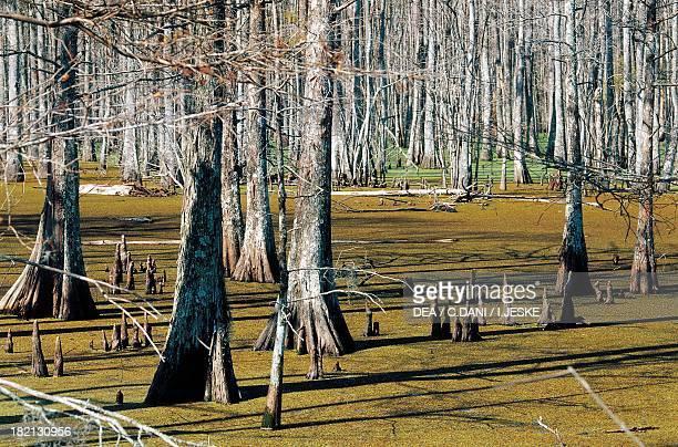 Bald Cypress forest , Cupressaceae, Big Cypress National Preserve, Florida, Stati Uniti.