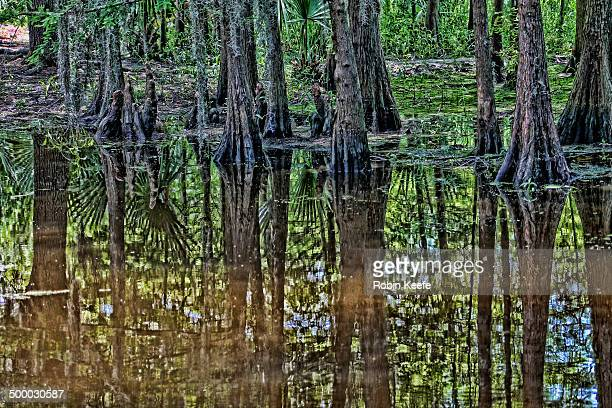 Bald cypress in a pond
