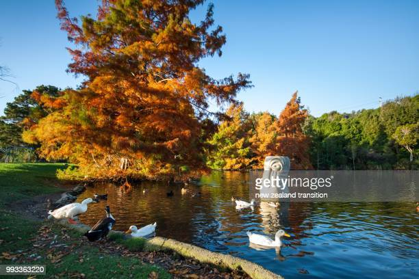 bald cypress in autumn colour in late afternoon light by the duck pond - bald cypress tree imagens e fotografias de stock