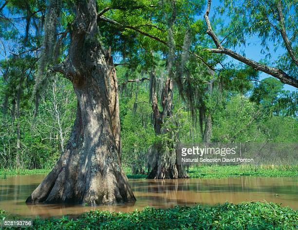 Bald Cypress in Swamp