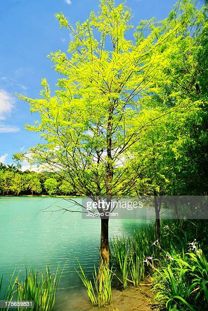 Bald cypress near lake
