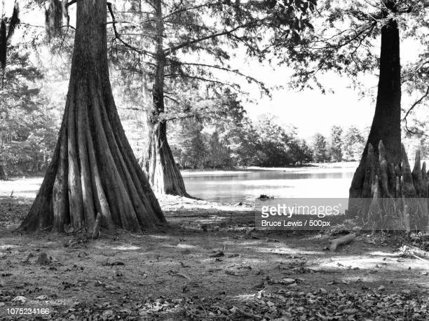 bald cypress - bald cypress tree imagens e fotografias de stock