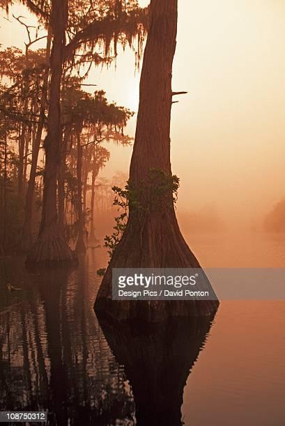 bald cypress (taxodium distichum) - bald cypress tree imagens e fotografias de stock