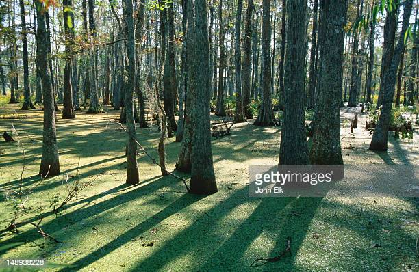 bald cypress swamp in big bayou black. - cypress swamp stock photos and pictures