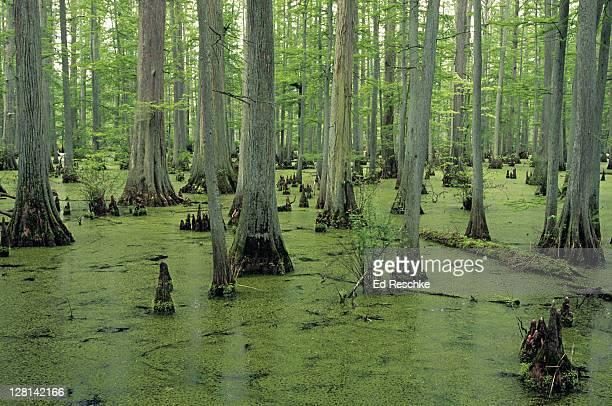 bald cypress swamp, taxodium distichum, cache river state natural area, southern illinois, usa - bald cypress tree foto e immagini stock
