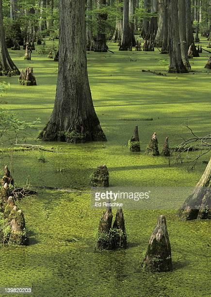 bald cypress swamp; wetland habitat, southern illinois. taxodium distichum (bald cypress). cache river state natural area. - bald cypress tree foto e immagini stock