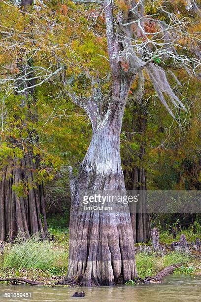 Bald cypress tree deciduous conifer Taxodium distichum showing high water marks in Atchafalaya Swamp Louisiana USA