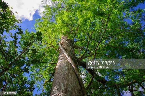 bald cypress tree from the ground - 落羽松 ストックフォトと画像