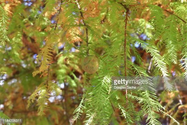 bald cypress tree (taxodium-distichum) - bald cypress tree imagens e fotografias de stock