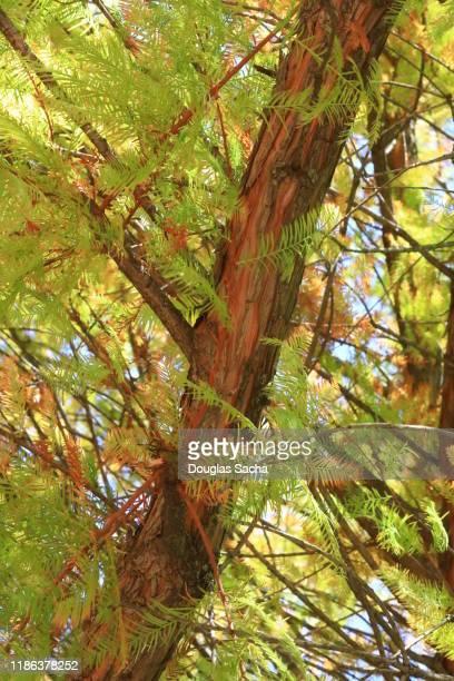 bald cypress tree (taxodium distichum) - bald cypress tree imagens e fotografias de stock