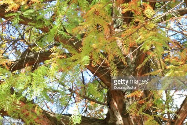 bald cypress tree (taxodium distichum) - bald cypress tree foto e immagini stock