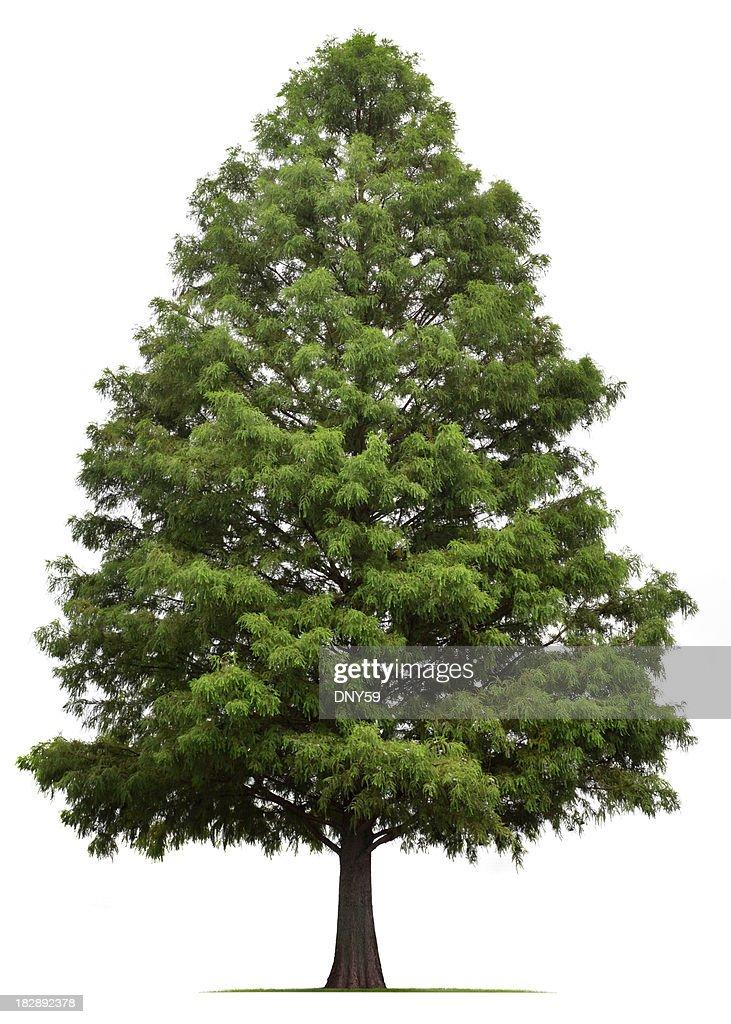 Bald Cypress Tree : Stock Photo