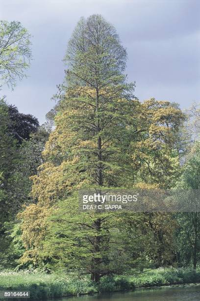 Bald Cypress tree
