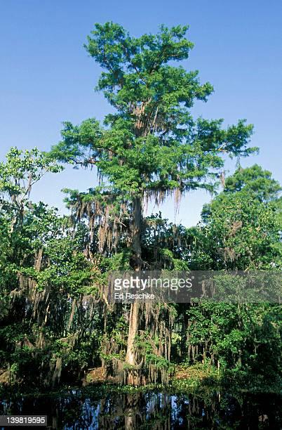 bald cypress tree, taxodium distichum, with epiphytic spanish moss, tillandsia usneoides. southeastern usa - bald cypress tree imagens e fotografias de stock