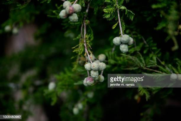 bald cypress tree with blue berries pedernales falls state park - bald cypress tree imagens e fotografias de stock