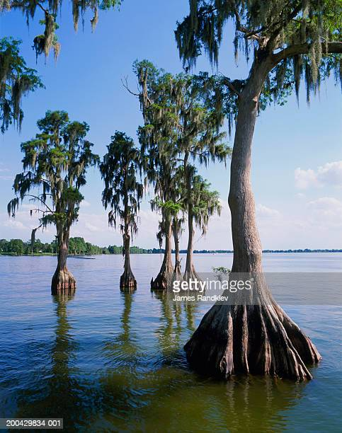 bald cypress trees (taxodium distichum) along lakeshore - cypress swamp stock photos and pictures