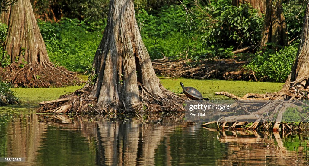 Bald Cypress Trees (Taxodium distichum ) and Florida Red-bellied Turtle in Jupiter, Florida : Stock Photo