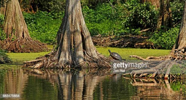 Bald Cypress Trees (Taxodium distichum ) and Florida Red-bellied Turtle in Jupiter, Florida