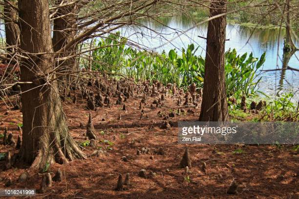 bald cypress trees (taxodium distichum) and multiple cypress knees sticking out from the ground - cypress swamp stock photos and pictures
