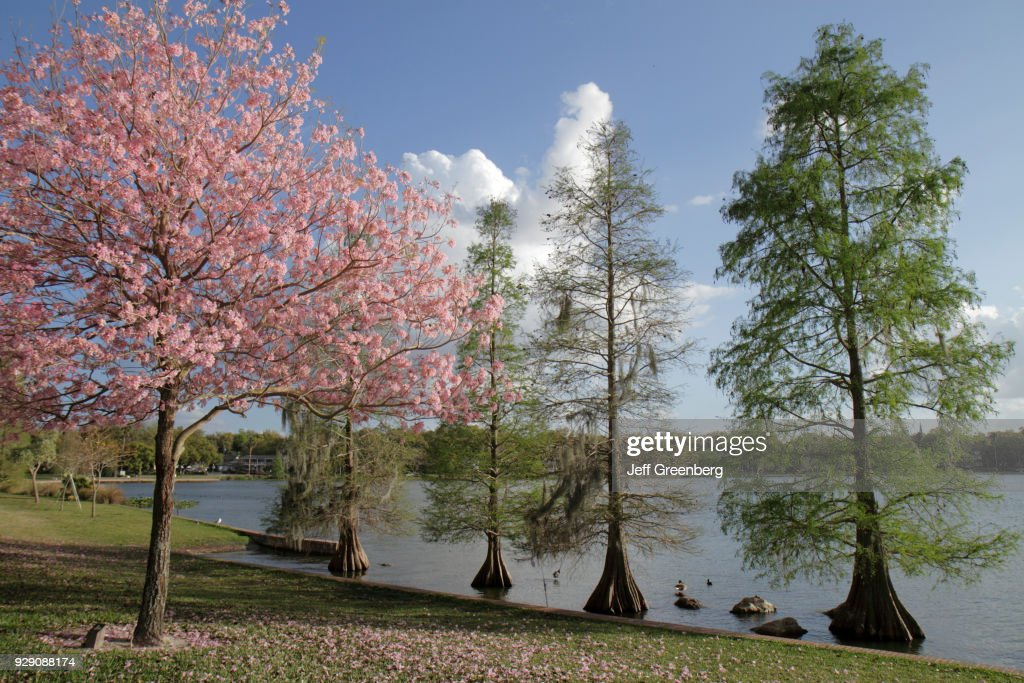 Bald cypress trees and orchid trees at Lake Morton. : Nachrichtenfoto