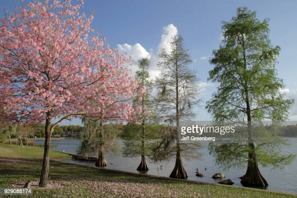 Bald cypress trees and orchid trees at Lake Morton