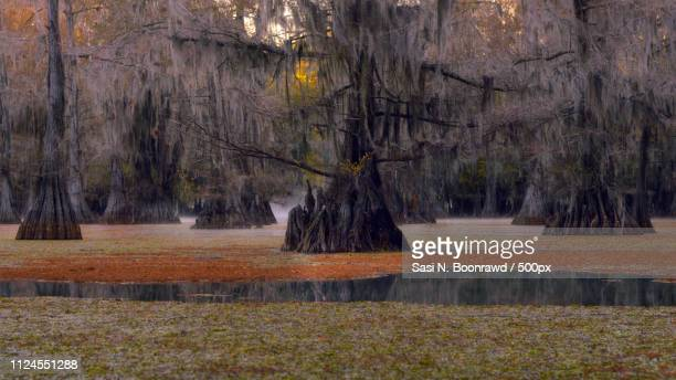 Bald Cypress Trees Caddo Lake State Park Tx