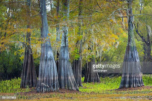 Bald cypress trees deciduous conifer Taxodium distichum showing high water marks in Atchafalaya Swamp Louisiana USA