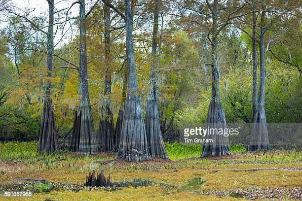 Bald cypress trees deciduous conifer Taxodium distichum showing high water marks in Atchafalaya Swamp Louisiana USA