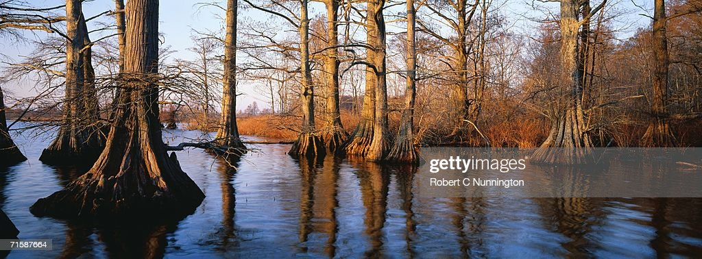 Bald Cypress (Taxodium distichum) Trees in Water : Stock Photo