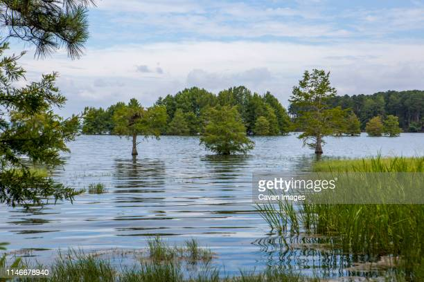 bald cypress trees on lake eufaula - walter f. george lake, ga - bald cypress tree imagens e fotografias de stock