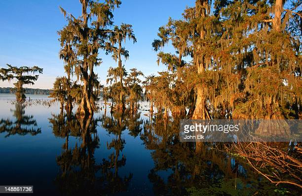 bald cypress trees on lake martin. - bald cypress tree stock pictures, royalty-free photos & images