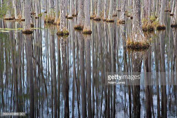 bald cypress trees (taxodium distichum) reflected in pond - bald cypress tree foto e immagini stock