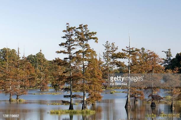 bald cypress trees, taxodium distichum, in autumn foliage, big lake national wildlife refuge, northeastern arkansas, usa - bald cypress tree imagens e fotografias de stock