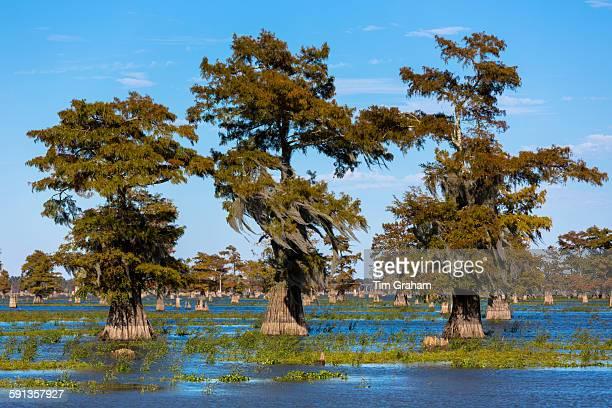 Bald Cypress trees Taxodium distichum tree stumps cut down for timber trees with Spanish Moss Atchafalaya Swamp Louisiana USA