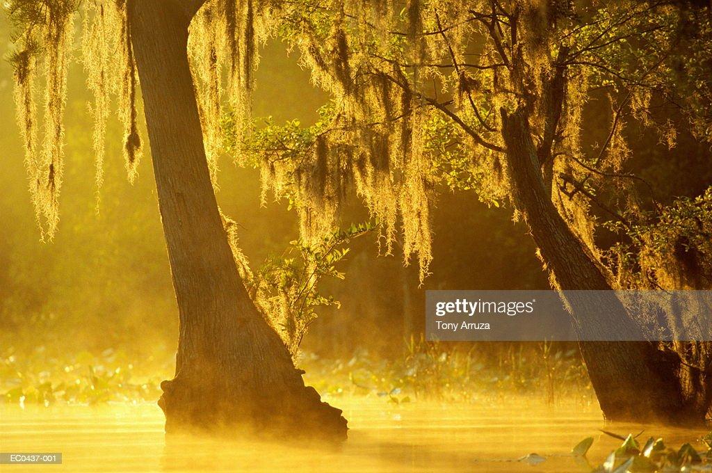 Bald cypress trees with Spanish moss,Okefenokee Swamp,Georgia,USA : Foto de stock