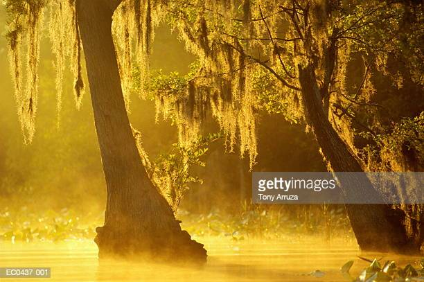 bald cypress trees with spanish moss,okefenokee swamp,georgia,usa - musgo español fotografías e imágenes de stock