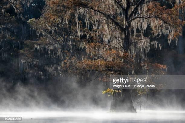 bald cypress (taxodium distichum) with spanish moss (tillandsia usneoides) in autumn, fog at the lake, atchafalaya basin, louisiana, usa - bald cypress tree imagens e fotografias de stock