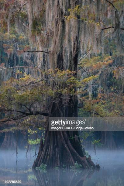 bald cypresses (taxodium distichum) in autumn with spanish moss (tillandsia usneoides), fog over the water, atchafalaya basin, louisiana, usa - bald cypress tree stock pictures, royalty-free photos & images