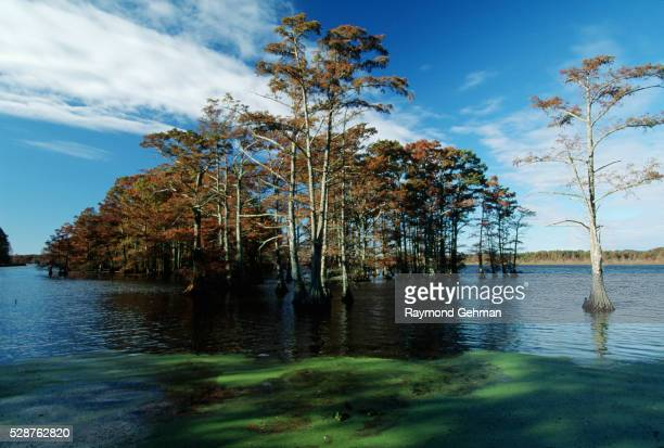 bald cypresses in reelfoot lake - bald cypress tree stock pictures, royalty-free photos & images